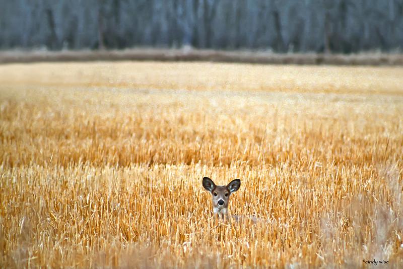 deer's ears