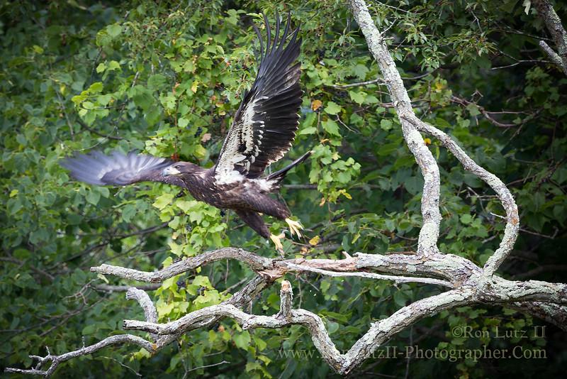 "<a href=""http://en.wikipedia.org/wiki/Bald_Eagle"" title=""Haliaeetus leucocephalus"">Bald Eagle, juvenile</a>"