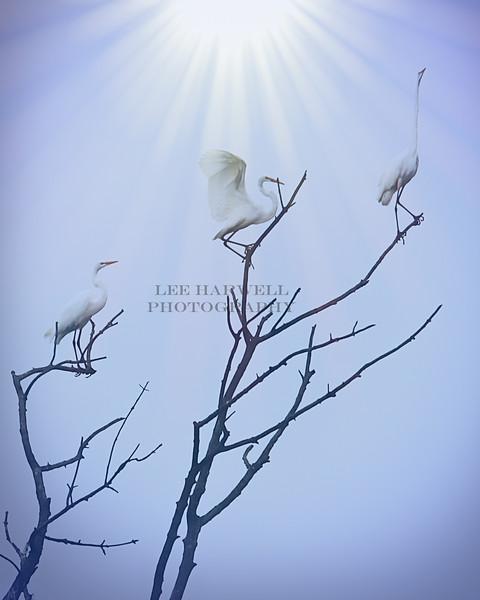 Majestic Egrets
