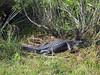 Alligator7