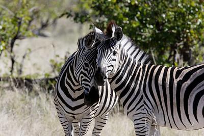 Affectionate zebras Linyanti Swamp, Botswana