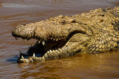 Crocodile 0798