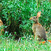 Cottontail munching tender young greens, Kellum Creek