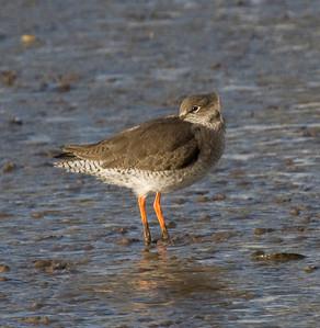 redshank - taken on the Norfolk coast
