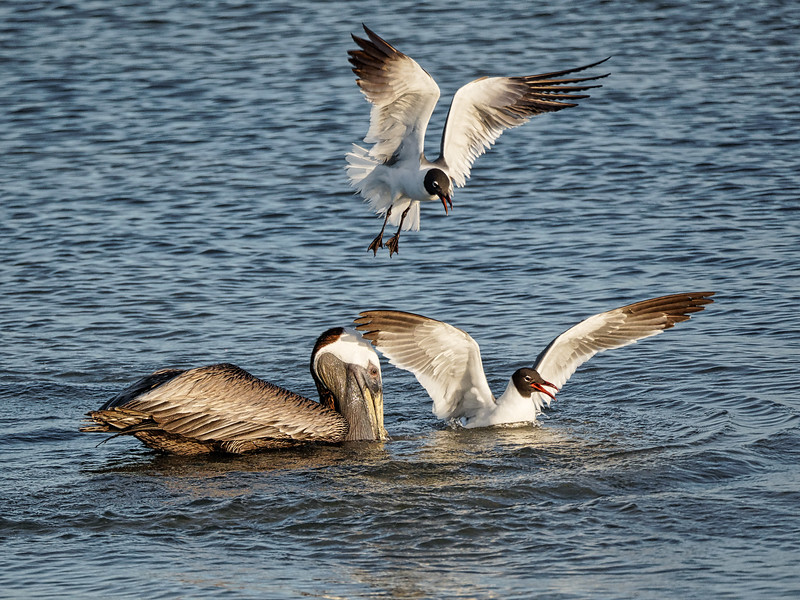 Laughing Gulls and Pellican