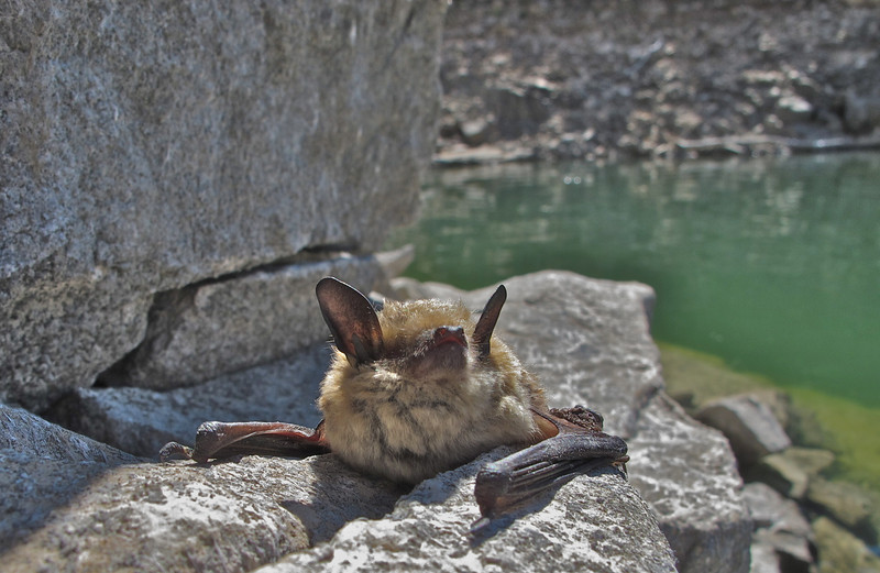 Big Horn Canyon Bat
