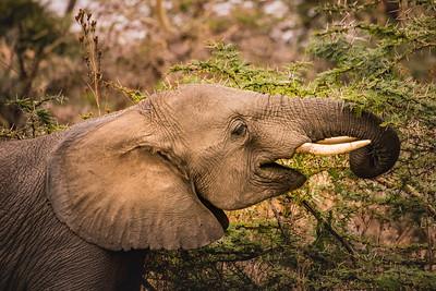 elephant 7550
