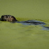 River Otter in a sea of green - algae and duck weed.