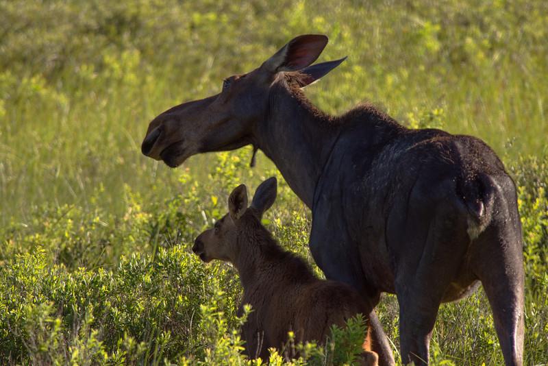 Moose Cow and Calf, Algonquin Park