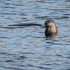 River Otter in Victoria's outer harbour