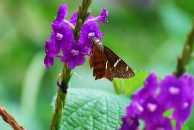 Blue Eyed moth