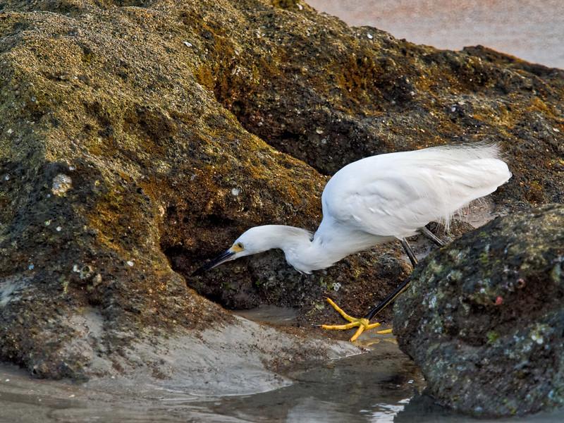 Snowy Egret Looking for Breakfast