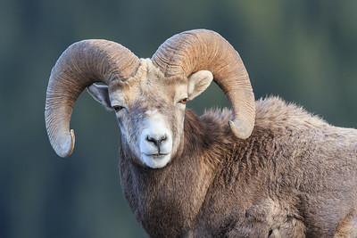 Bighorn ram, posing for the camera