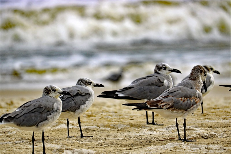 Sleepy Gulls
