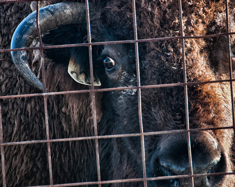 The eye of the Buffalo.