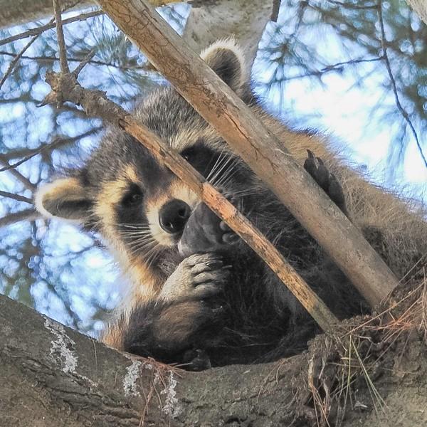 Raccoon resting in a pine tree