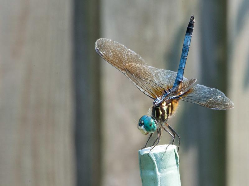 Dragonfly in Jacksonville Beach