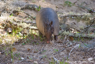 Armadillo - Fort George Island