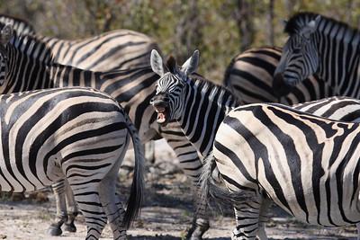 Zebra Linyanti Swamp, Botswana
