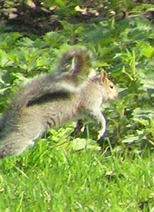 chilterns_greysquirrel_April_2005