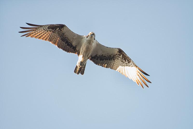 Soaring Osprey at Rodman Dam