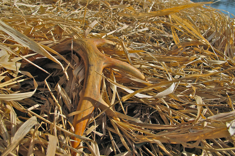 BigHorn Whitetail