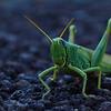 Grasshopper in Sedona, AZ
