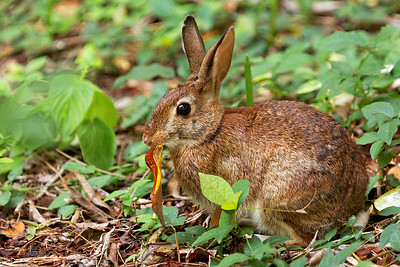 Cottontail Rabbit - Alfred B. Maclay Gardens State Park, Florida