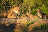 Lioness and Her Playful Cubs