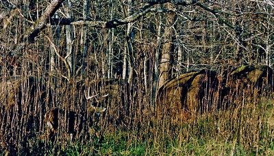 Hidden Buck. Taken in Great Smoky National Park, Cades Cove area.