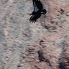 American Condor (1 of approx 300 in the world). Grand Canyon, April 2009.