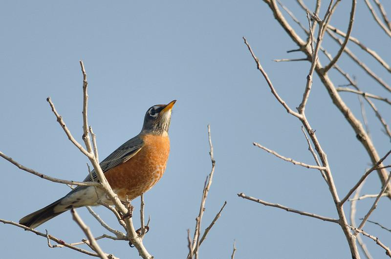 American Robin at Merritt Island