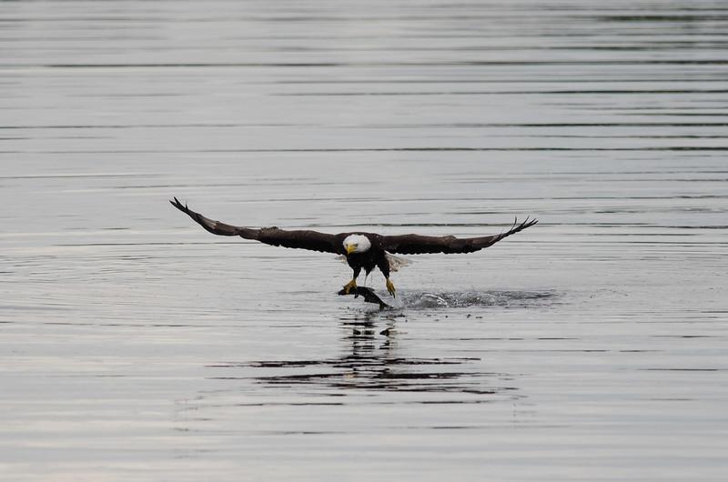 Bald Eagle at the Rodman Dam