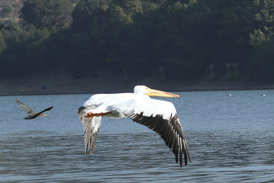 White Pelican in Flight, Lake Chabot