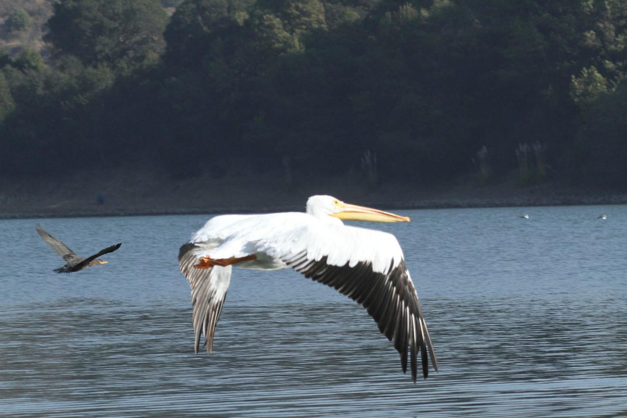 White Pelican in Flight, Lake Chabot