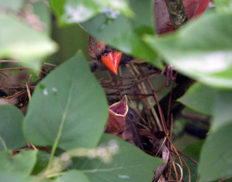 Cardinal2057