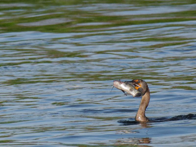 Cormorant and Catfish