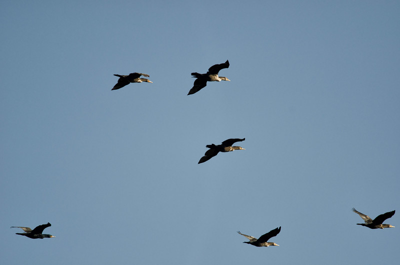 Loons in flight at Merritt Island