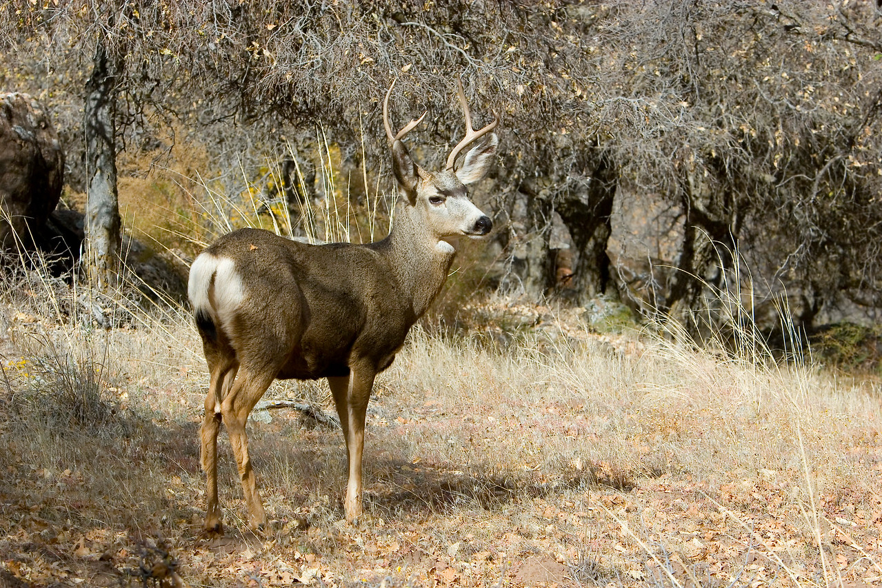 Zion 3 point deer