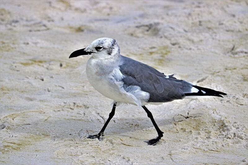 Striding Gull