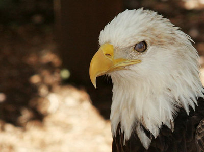 Liberty the Bald Eagle.  Resident of Busch Gardens in Williamsburg, VA.