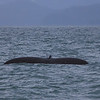 Humpback Whale Tail - Near Juneau, AK July 2013