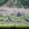 Sandhill Cranes at Myakka River