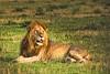 Daddy Lion
