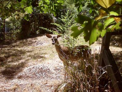 Deer Through Backyard Fence