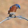 Male Bluebird perched on razor wire - Charlotte Airport -December 6, 2013