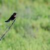 Red-Winged Blackbird at Myakka River