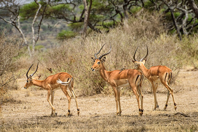 Impala with oxpeckers 9041