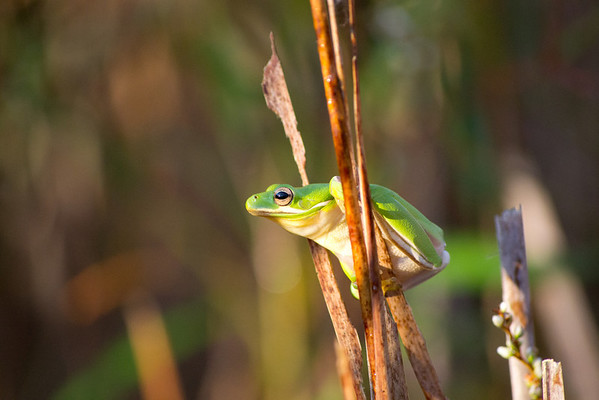 Sunrise Green Frog, Milldam Creek, Virginia Beach, VA