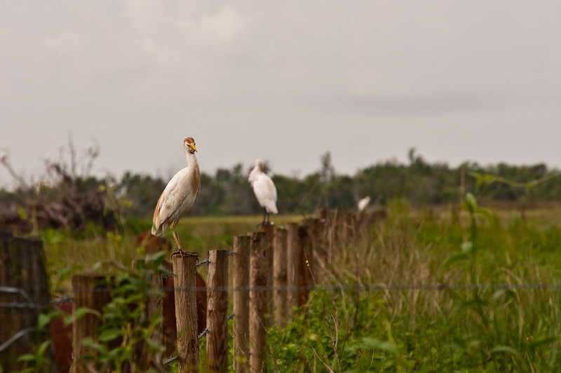 A Cattle Egret I think?